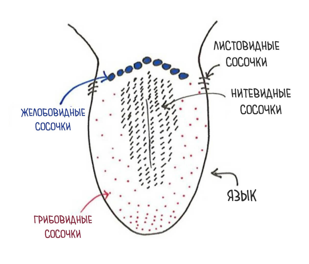 Tongue Papillae Diagram